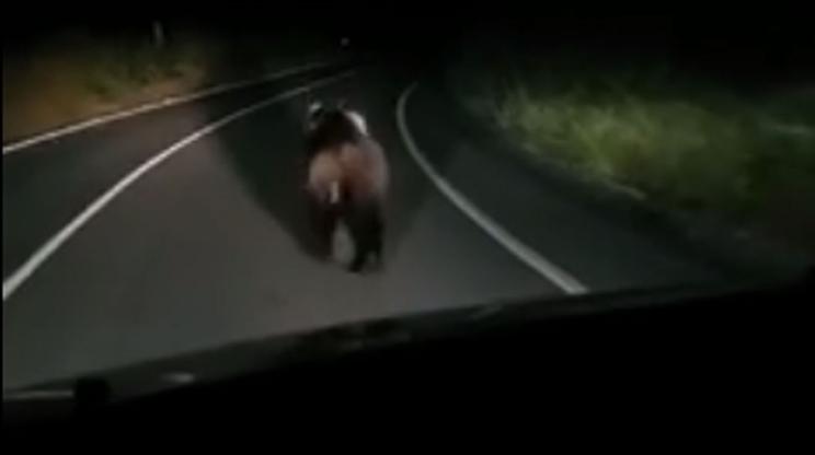 El oso huye del coche por la carretera / Fotografía: elcomercio.es
