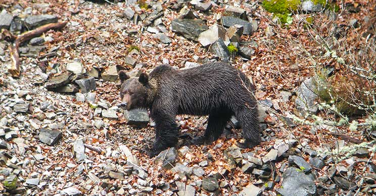 4.000 cazadores españoles trabajan en la recuperación del oso pardo