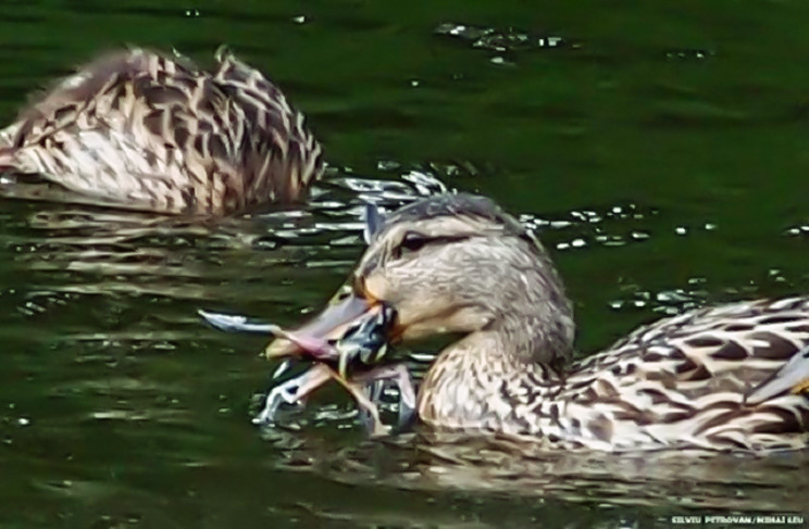 Científicos de Cambridge graban por primera vez a unos patos… ¡cazando!