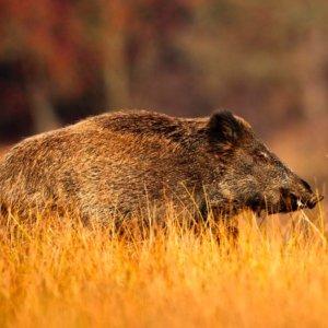 Este cazador escucha a un jabalí que se acerca pero... ¡no imagina por dónde le entrará!