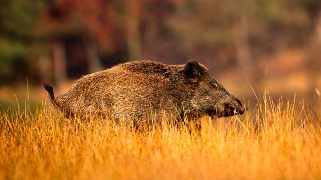 cazador jabalí