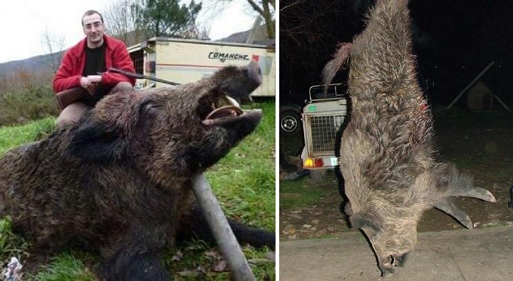 Así son los 'vakamulos', descomunales jabalíes gallegos de 180 kilos