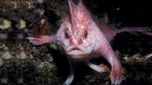 Pez-rosado-no-nada-en-el-agua-camina-1