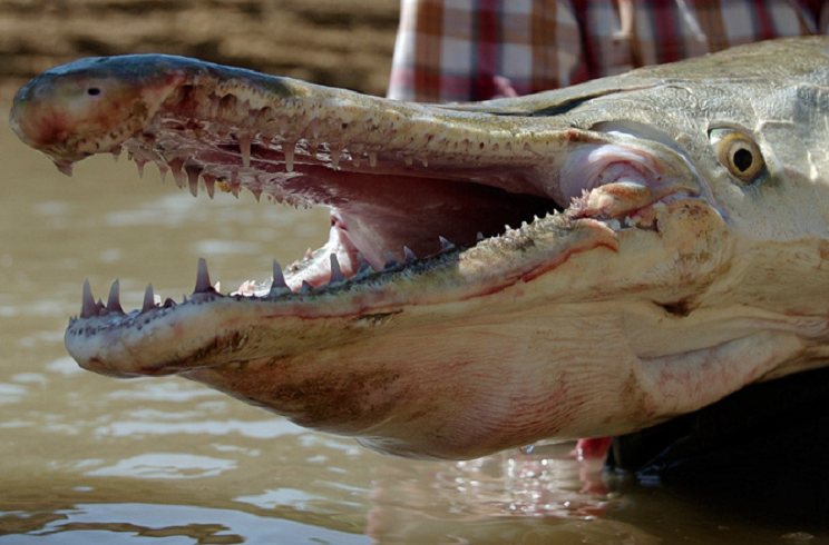 Capturan un asombroso pez prehistórico en un lago de Marbella
