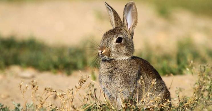 Declaran la emergencia cinegética en más de 250 pueblos castellanomanchegos debido a los daños de conejo