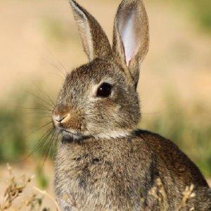 Los agricultores piden que se pueda cazar conejos durante el estado de alarma: sus cosechas están a punto de ser arrasadas