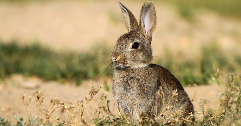 Plaga de conejos emergencia cinegetica