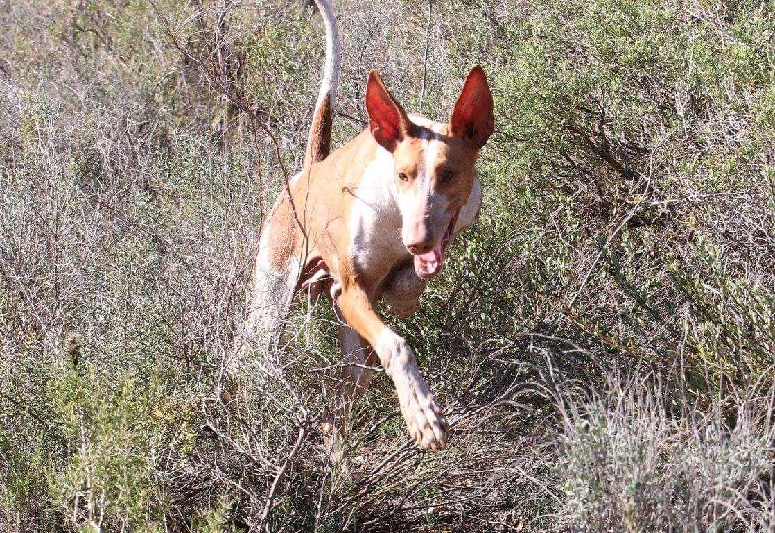 El perro de caza será el protagonista en Fivac'18