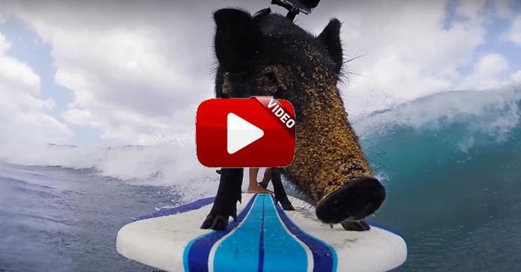Practica el surfing con esta curiosa mascota