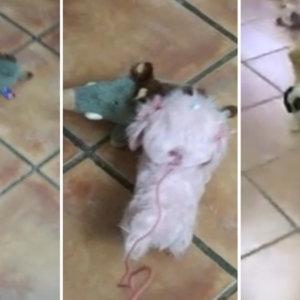 Perros y jabalíes: así son las cacerías y los agarres más divertidos de la cuarentena