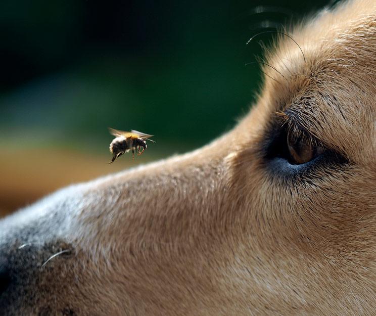Abeja picadura perro