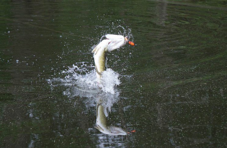 Señuelos de pesca Natori e Iwaki el terror de los depredadores