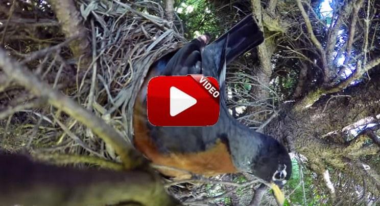 Este vídeo de una serpiente comiendo los huevos de un nido arrasa en Internet