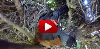 Serpiente se come huevos de nido