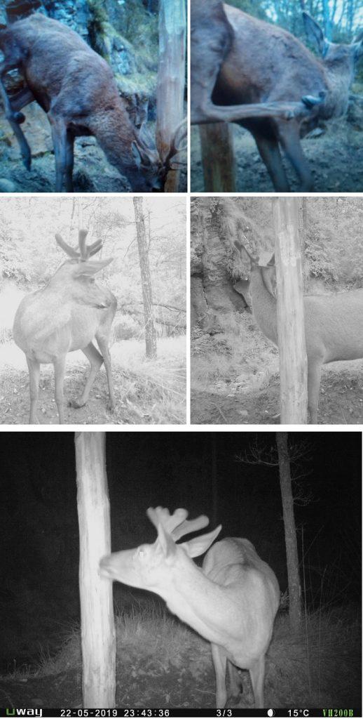 ciervo pezuña