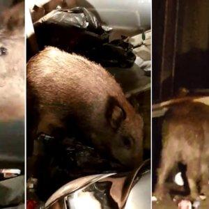 Un cazador graba a los extraordinarios jabalíes que entran a comer en Barcelona