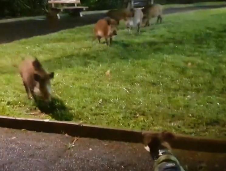 perro jabalíes