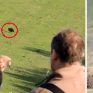 Este emocionante vídeo muestra cómo cazan jabalíes con águilas