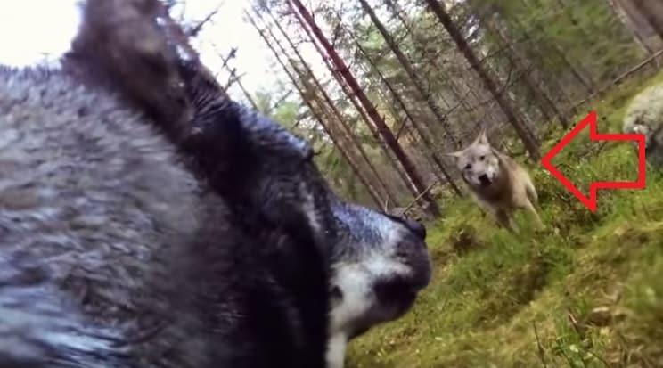 Dos lobos atacan a la perra de un cazador y lo graban