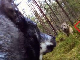 lobo perra