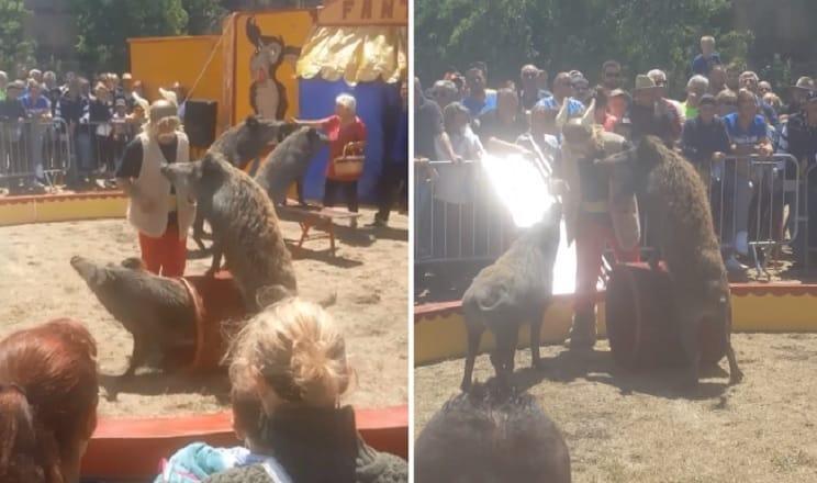 Un espectáculo de circo protagonizado por jabalíes arrasa en Internet