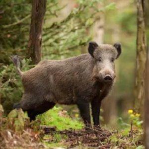Proponen contratar cazadores para controlar los jabalíes en Galicia