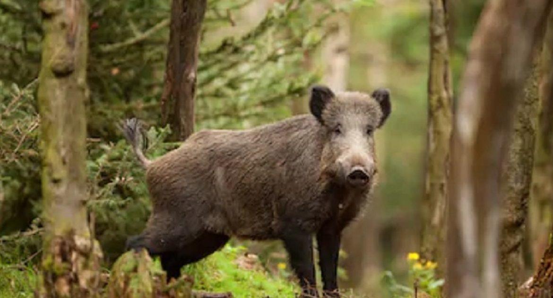 Los cazadores gallegos podrán desplazarse para cazar jabalíes y lobo