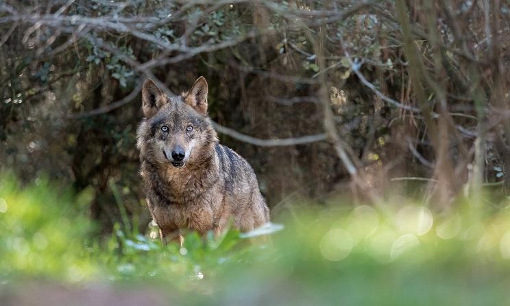 Castilla y León aprueba un nuevo plan para cazar lobos al norte del Duero