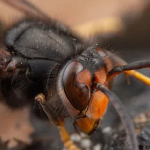 Un agricultor muere acribillado por un enjambre de avispas asiáticas