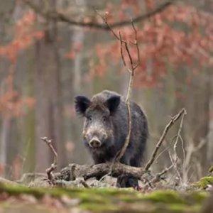 Galicia autorizará la caza del jabalí al salto y en mano