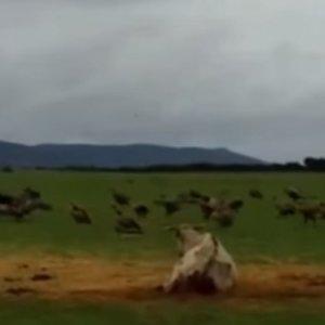 Graban a cientos de buitres atacando a una vaca pariendo