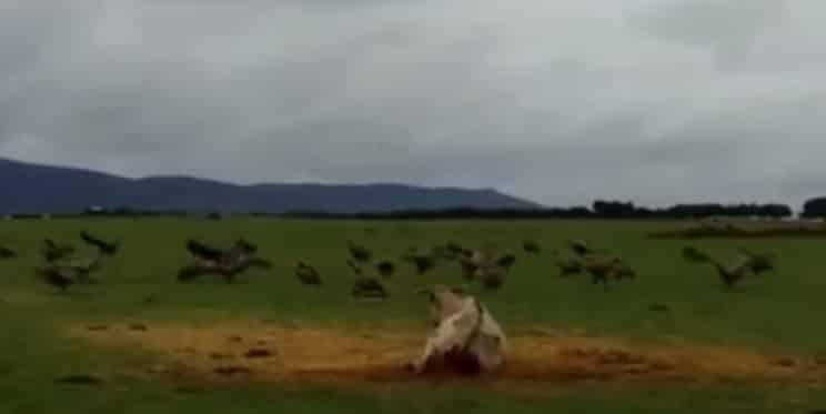 buitres vaca