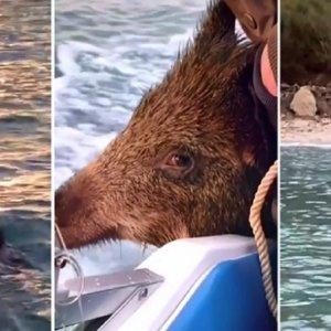 Insólito: Rescatan a un jabalí que nadaba a dos kilómetros de la costa
