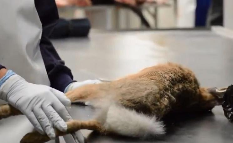 Un cazador detecta la primera liebre con síntomas de mixomatosis en Cataluña