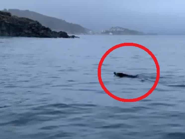 Unos buceadores gallegos se topan con un jabalí en mitad del mar