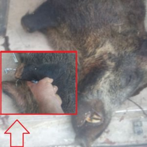 Cazan un jabalí al que le faltaban las dos patas delanteras en Alicante