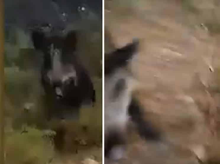 Un jabalí ataca a un perrero y le pasa entre las piernas: «Me salvé de una buena»