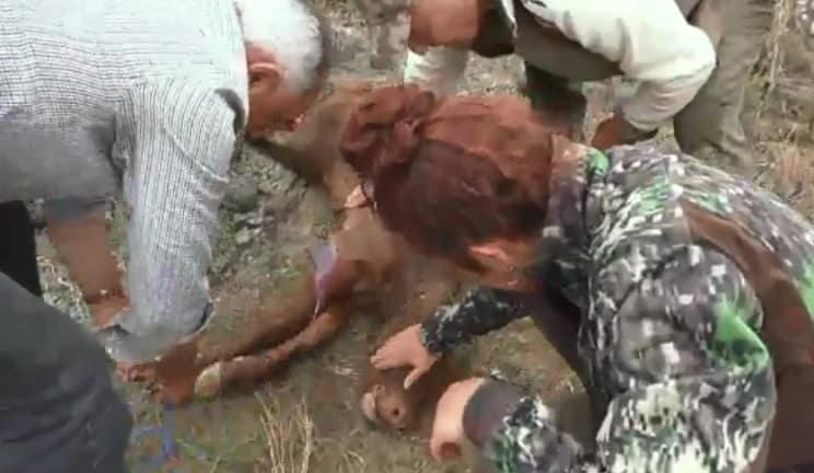 Van a grabar un documental de caza y terminan asistiendo el parto de una vaca