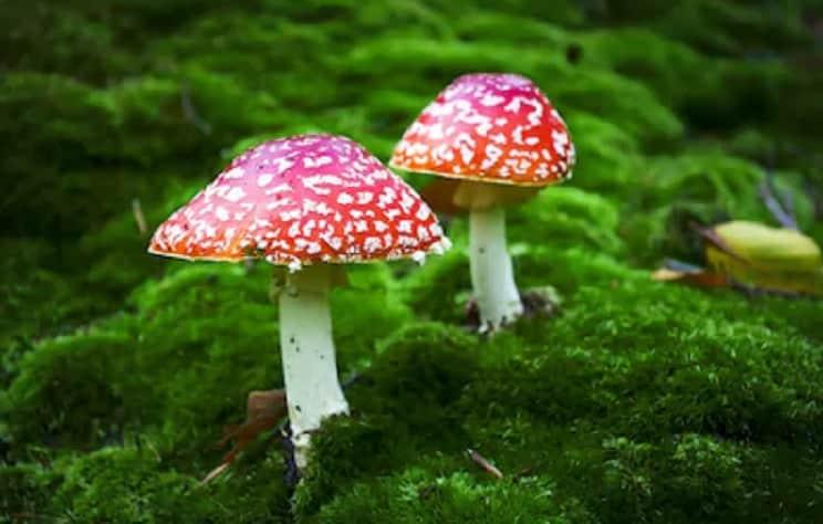 Siete falsos mitos sobre setas venenosas que te pueden llevar a la tumba