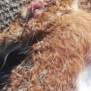 Hallan otra liebre con síntomas de mixomatosis en Zamora