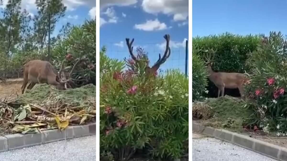 Graba a un ciervo comiéndose los setos de una rotonda de Marbella