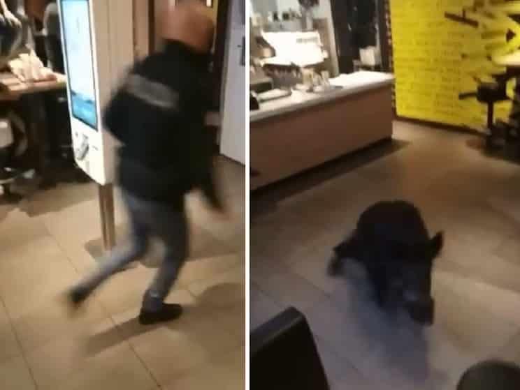 Un jabalí entra corriendo en un restaurante de comida rápida