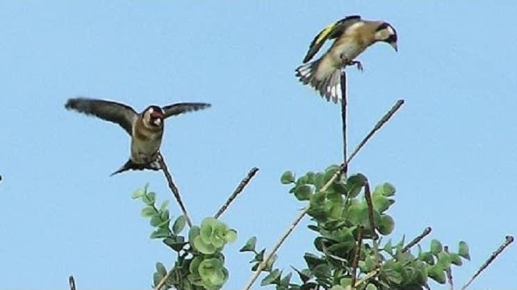 Silvestrismo: El Consejo de Estado de Francia respalda la caza de aves con liga