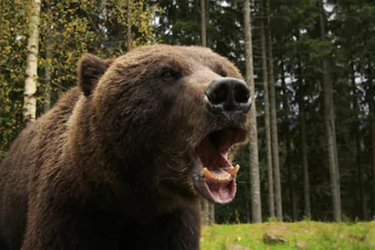 Mueren tres hombres atacados por osos en menos de un mes en Rumanía