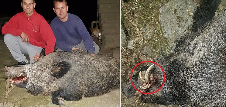 Dos hermanos cazan un jabalí de 120 kilos con esta sorpresa en su trofeo