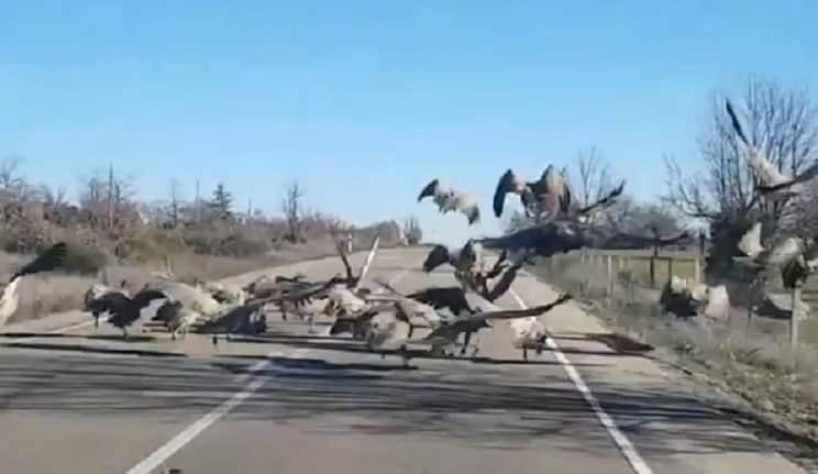 Graban decenas de buitres devorando un jabalí en mitad de la carretera