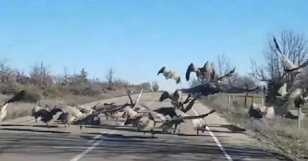 graban a unos buitres comiendose un jabali en la carretera