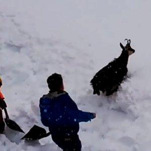 Los grandes medios españoles confunden un rebeco con un ciervo