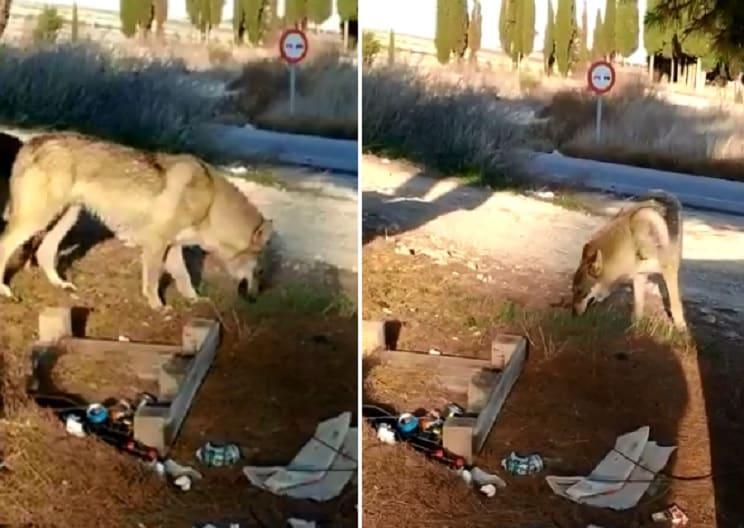 No, no son lobos: el vídeo de dos perros checoslovacos que se ha vuelto viral