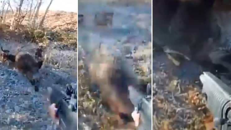Un jabalí abatido se levanta y ataca al cazador, que dispara en el último segundo